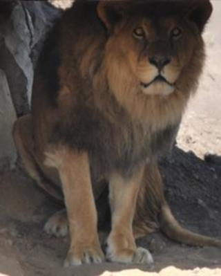 Johnny Senior, lion at Yorkshire Wildlife Park
