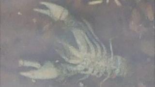 The dead crayfish