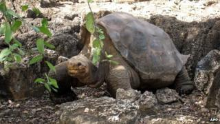 """Picture of """"Lonesome George"""" taken on 21 July 2008 at the Breeding Centre Fausto Llerena of the Charles Darwin station in the Galapagos' Santa Cruz Island"""