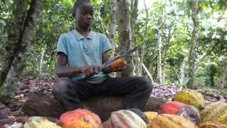 A boy working on a cocoa farm