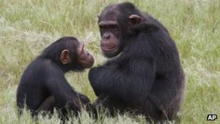 Chimpanzees sit in an enclosure at the Chimp Eden rehabilitation centre, near Nelspruit, South Africa