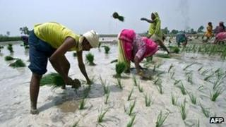 Farmers sowing a paddy field in northern India ahead of the monsoon rains