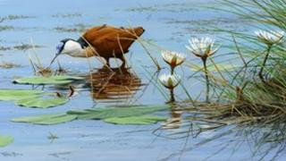 African Jacana by Dr Jeremy Paul