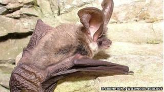 Grey long-eared bat (Pic: Richard Compton, Wildwood Ecology)