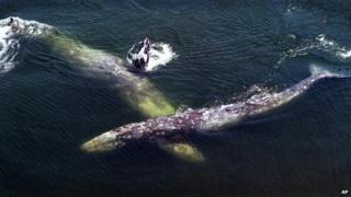 A pair of gray whales