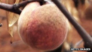 Peaches growing in China