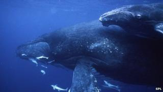 Humpback whales (file photo)