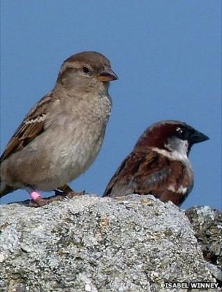 House sparrows (Image: Isabel Winney)