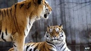 A 2005 photograph of tigers at Copenhagen Zoo