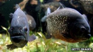 Piranha swimming in an aquarium tank