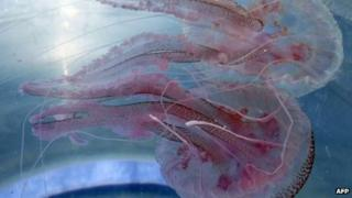 Mauve stinger jellyfish from the French Riviera