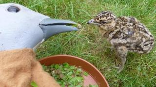 Great bustard chick and mother puppet