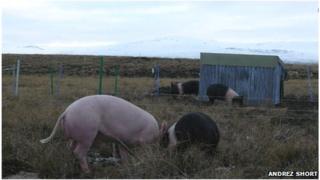 Pigs in field in Falkland Islands