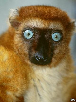 Blue-eyed black lemur