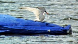 Common tern on an inflatable mattress