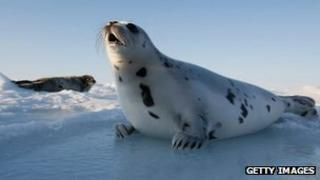 A harp seal pup lies on an ice floe March 24, 2008 in the Gulf of Saint Lawrence in Canada