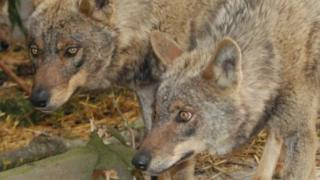 Two Iberian wolves