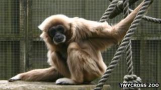 Jane, oldest lar gibbon in the UK