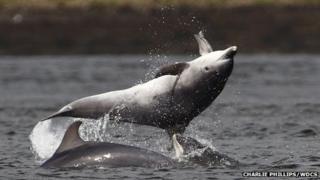 Bottlenose dolphins off South Kessock