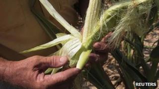 A farmer holds a drought-damaged ear of corn in a field on his farm in Henderson, Kentucky
