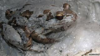 Mother mountain chicken frog in nest with eggs