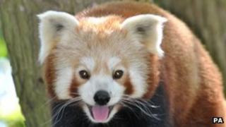 Red panda Wanmei