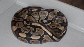 The royal python