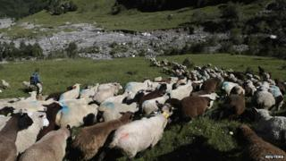 Flock of sheep gathered in Switzerland.