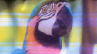 Macaw Peanut