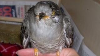 The injured cuckoo