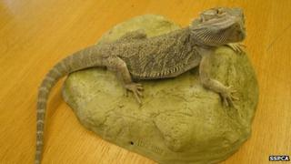 The bearded dragon found in Kirkcudbrightshire