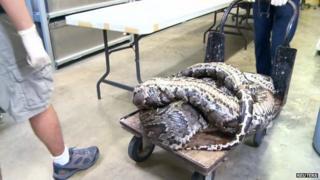 Burmese python captured in Florida