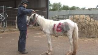 One of the rescue ponies at the centre