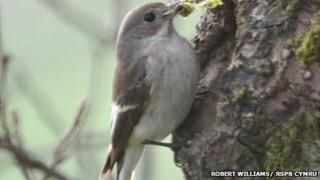 A pied flycatcher similar to the one recorded in north Wales