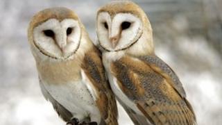Pair of barn owls