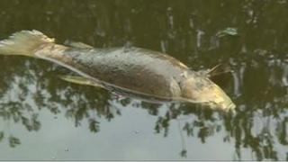 Dead fish in River Weaver