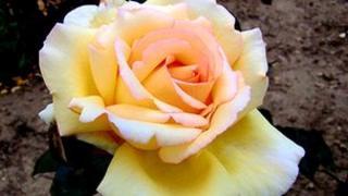 Rosa 'Geoffrey Smith'