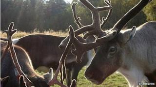 Reindeer in Roros