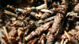 Woods ants like these will be tagged