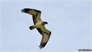 Osprey flying over Woods Mill