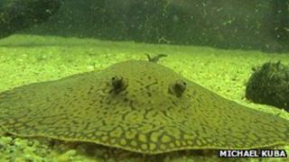 Freshwater stingray
