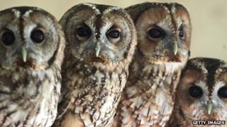 Rescued tawny owlets at RSPCA West Hatch in Somerset