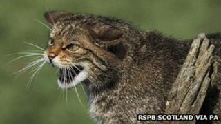 Cat Fiadhaich