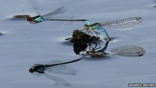 Small red-eyed damselflies laying eggs