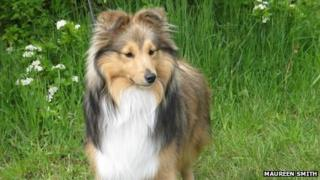 Wensley the Shetland Sheepdog