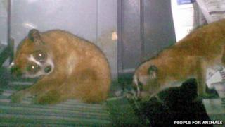 The two slender lorises found concealed in the underwear of two men at Indira Ghandi International Airport, 10 September 2012