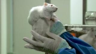 Lab rat in study