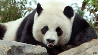 Mei Xiang, at the National Zoo in Washington DC (file photo)