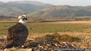 Nora the osprey at Cors Dyfi in 2012