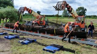 Fenland Black Oak lifted from a farmer's field in Methwold Hythe, Norfolk